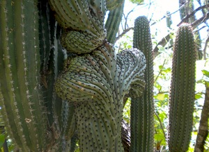 Spectacular endemic vegetation in the Cactus Sanctuary at the Ejido (communal land) of El Rosario, Mexico