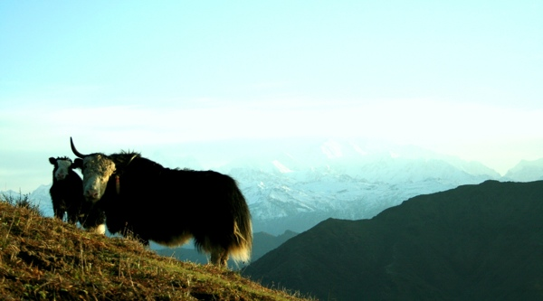 Yaks are the beasts of burden, carrying the heavy gear and supplies needed for trekking crew to higher altitudes. During the evening when trekkers huddle around their campfires, Yaks quietly graze around greener pastures.