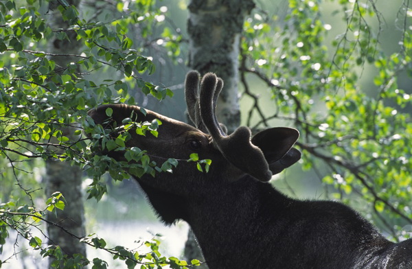 A wild reindeer grazes in the tranquil isolation of Oulanka National Park, Finland (photo by Paavo Hamunen)