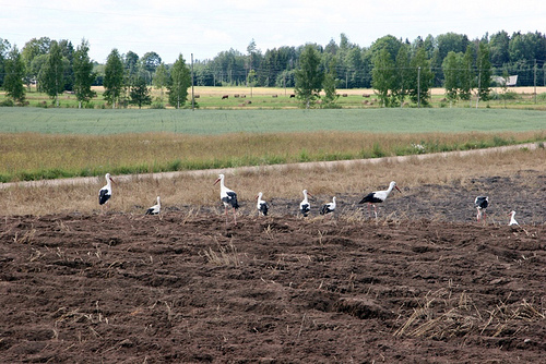 The white storks of Latvia are also known as Svetelis, which signifies the thought of stork as the saints. Locals believe that farmsteads or meadows frequented by storks are blessed.