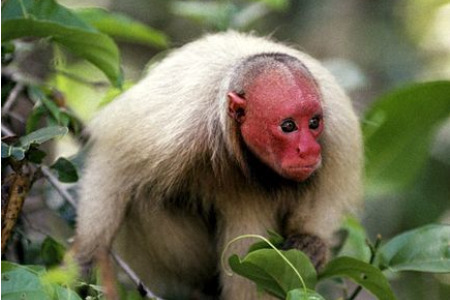 The distinctive uakari monkey is one of Brazil's most famous, yet elusive characters.