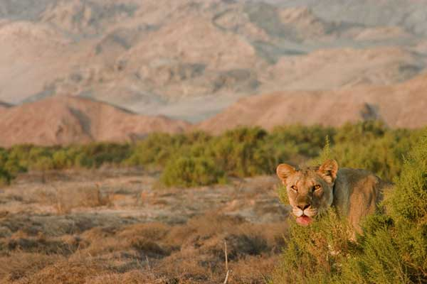 The lion is surprisingly adaptable and resilient, which helps it survive even in the extreme conditions of the desert. Namibia's desert lions do not need to drink, and feed primarily on gemsbok and ostrich.