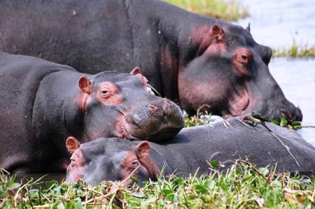 Hippos laze in the Shire River of Malawi's Liwonde National Park