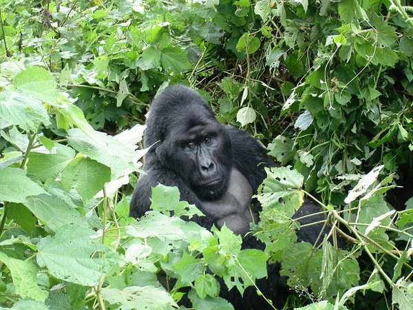 Photo of the Week (04 July 2010) - Gorillas in Our Midst, Bwindi Impenetrable Forest, Uganda
