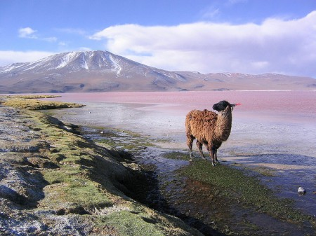 Alpacas and llamas roam the Salar de Uyuni in Bolivia, in search of some blades of grass.