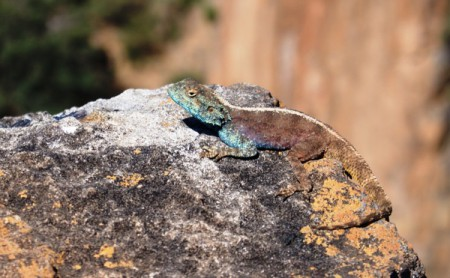 Lizard basking in the sun near Graaff-Reinet, South Africa