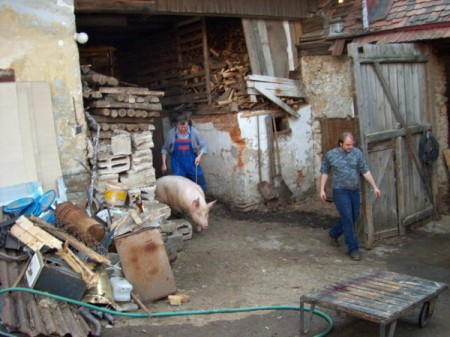 At a zabíjačka in rural Czech Republic, a pig is led out to meet its maker