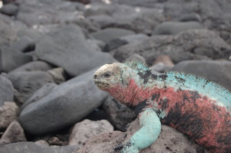 """Christmas"" (red and green) land iguana on the Galapagos Islands"