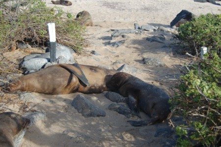 A sea lion mother nurses her pup on the Galapagos Islands