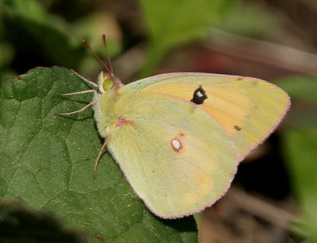 Dark Clouded Yellow Butterfly