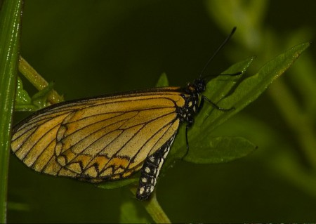Yellow coster butterfly