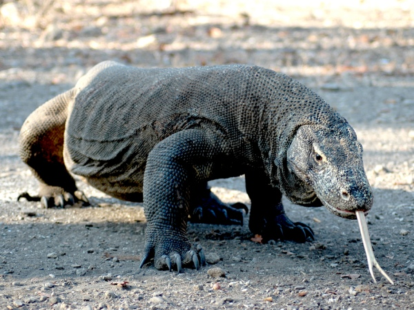 Photo of the Week (03 April 2011) - Forked Tongue of the Dragon, Komodo, Indonesia