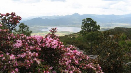 Azaleas near Lashi Lake, Lijiang, China