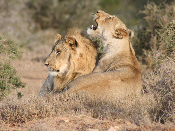 Photo of the Week (16 October 2011) - Young Lions of Addo National Park, South Africa