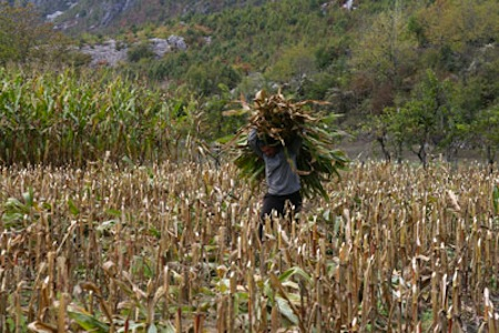 Farmer carrying corn in a field in northern Albania