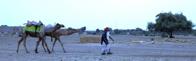 A couple of Bishnoi men and their camels