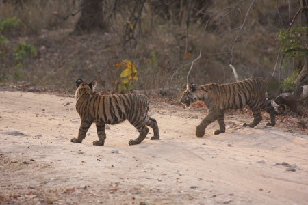 Tours operators have an important responsibility to help safeguard the tiger's future