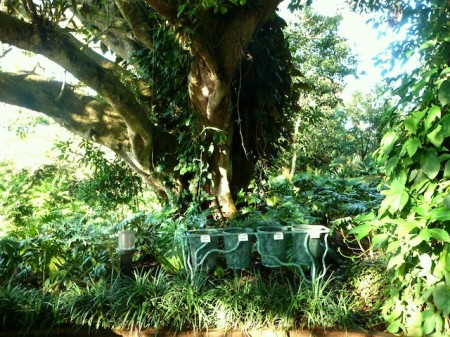 Recycling bins and giant fig tree at Finca Rosa Blanca, Costa Rica