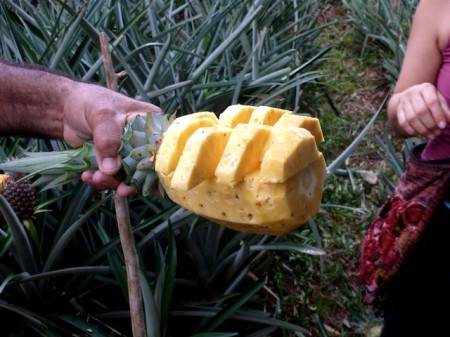 Fresh cut pineapple, Finca Sura, Costa Rica