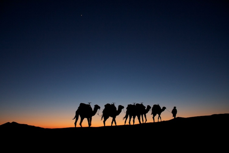 Camels at dusk in the Sahara near Erg Chebbi, Morocco