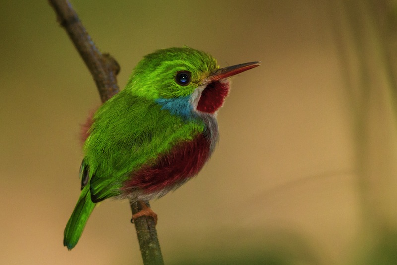 The small Cuban tody is endemic to Cuba