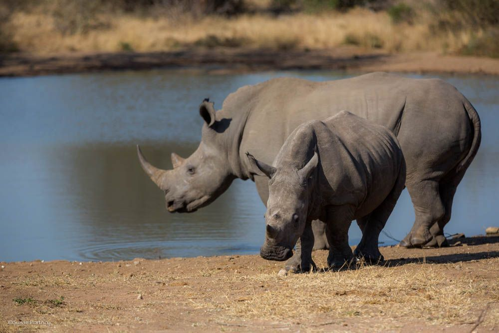 Old and young rhinos by water