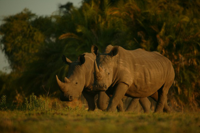 Two white rhinos in Botswana