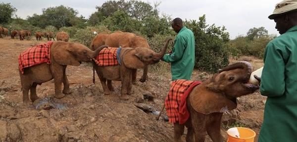 Orphaned elephants at feeding time